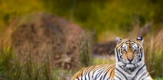 Global-tiger-population-rises-for-first-time-in-a-century