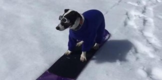 Jack-Russell-terrier-shreds-Nevada-mountain-on-a-snowboard