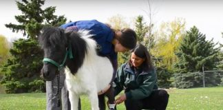 Miniature-horse-gets-prosthetic-leg-after-dog-attack