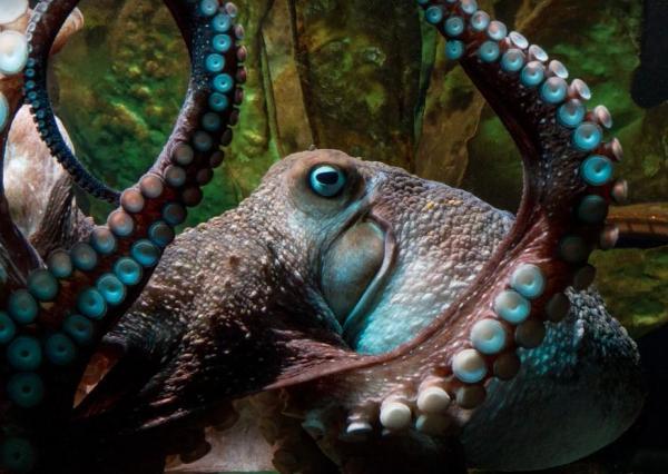 Octopus-escapes-New-Zealand-aquarium-through-a-drain-hole