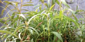 Plant-based-drug-may-halt-multiple-sclerosis-progression