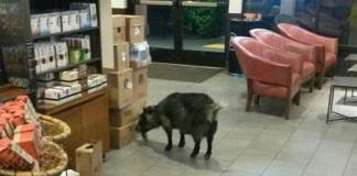 Police-Runaway-goat-sought-caffeine-fix-at-Starbucks