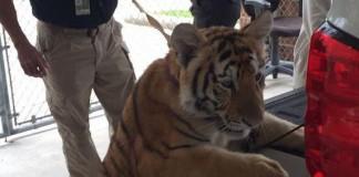 Police-seek-owner-of-loose-tiger-found-wandering-Texas-city