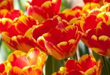 tulipfestivalphotocontest2