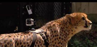cheetah, zoo, GoPro