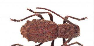 Borneo Beetle live birth