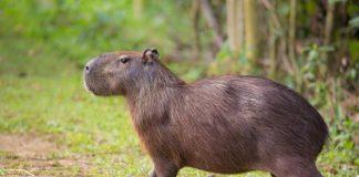 Toronto, Toronto Zoo, capybara