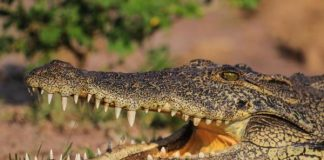 crocodile invasive Florida