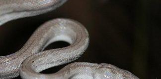 snake bahamas