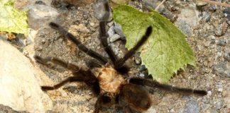 spider tarantula Canada flight