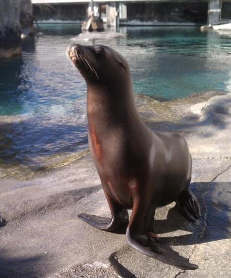 Hogle Zoo has announced the death of a popular member of its animal family-- rescued California sea lion, Rocky. Photo Courtesy: Hogle Zoo