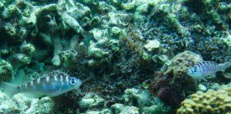 monogoamous, hermaphrodite fish