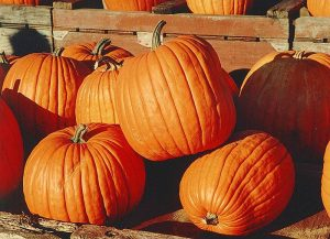 Pumpkins were introduced to North America by settlers in the early 1600s. Photo: Wikipedia/Martin Doege
