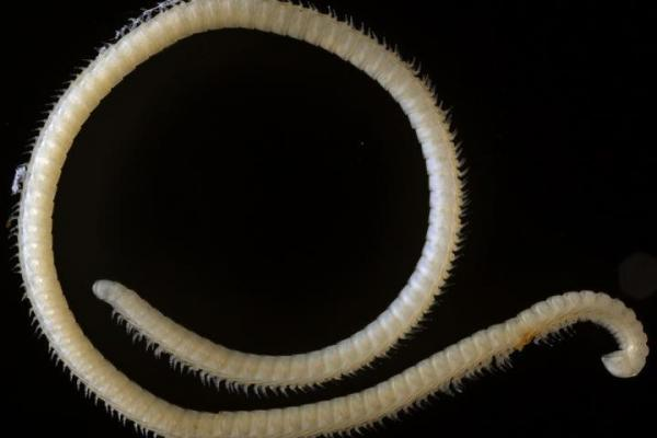 Creepy discovery: New millipede found in California cave