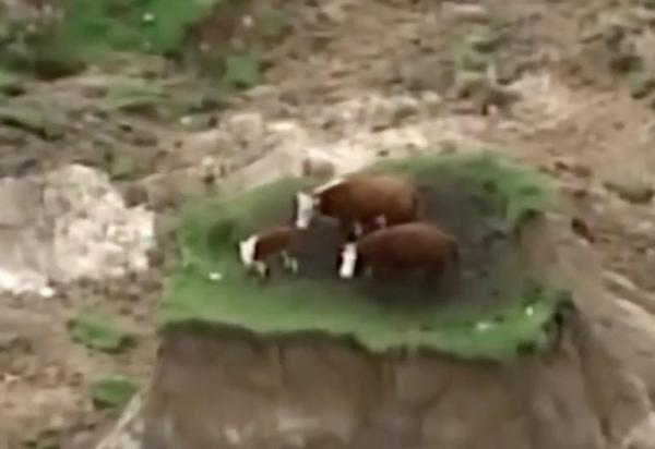 New Zealand quake leaves cows stranded on a tiny 'island'