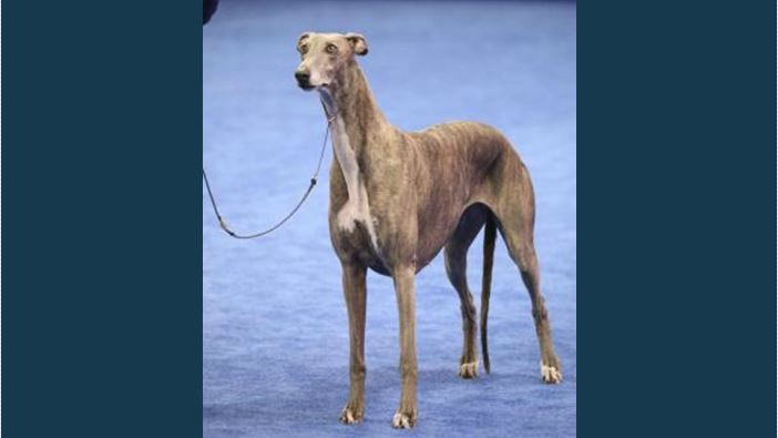 National Dog Show Philadelphia Winner Grayhound Picture