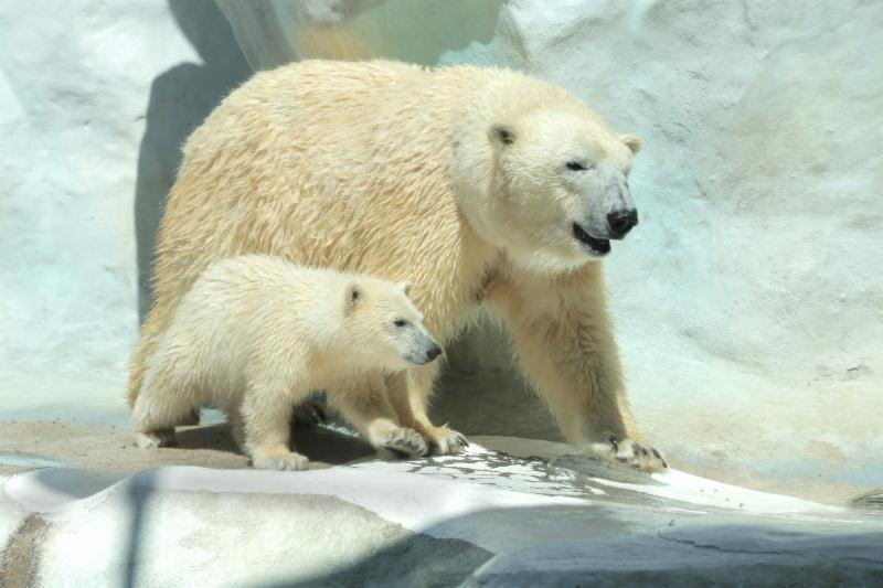Bye bye Nora: Oregon Zoo polar bear moving to Utah