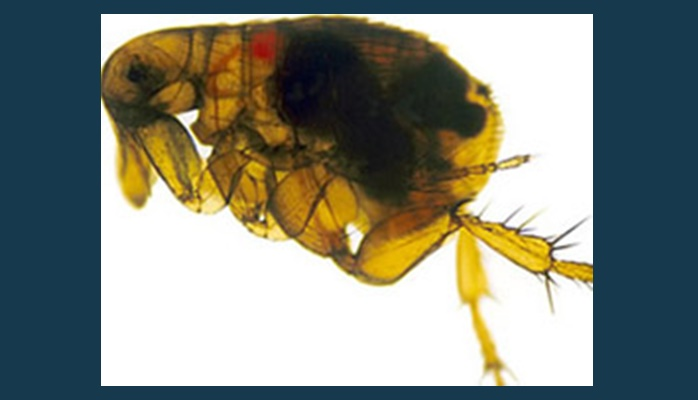 Fleas in Two Arizona Counties Tested Positive for the Plague