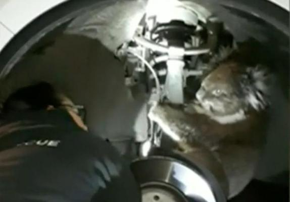 A koala was rescued after clinging to the axle of a four-wheel drive vehicle throughout a 10-mile trip in Australia. Screen capture  WAGA  Inform Inc