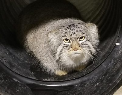 Missing Hogle Zoo Pallas' cat found, appears to be in good health