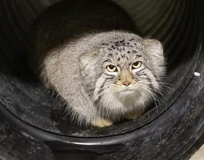 Utah zoo finds runaway Asian wildcat hiding in construction site