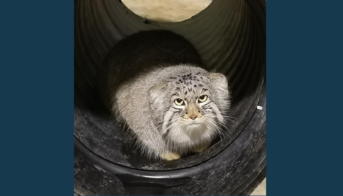 Pallas cat mushu lured by a meal of mice found safe and sound mushu the pallas cat that got out of his enclosure at hogle zoo on sunday was found monday this photo shows him in his bedroom zoo officials said in publicscrutiny Images