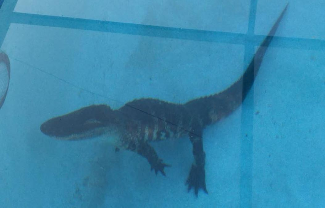 Florida Family Wakes To Find Alligator Swimming In Pool Gephardt Daily