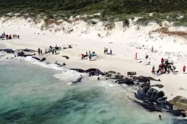 More than 130 whales die on Western Australia beach