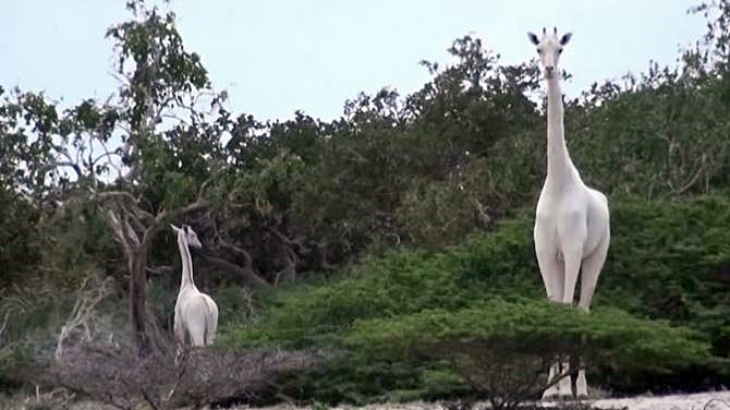 World's Only Female White Giraffe, Calf Killed by Poachers in Kenya