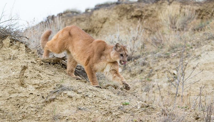 Sandy City warns of recent mountain lion sightings ...